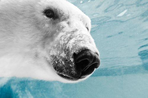 Polar Bear Up Close and Personal.jpg