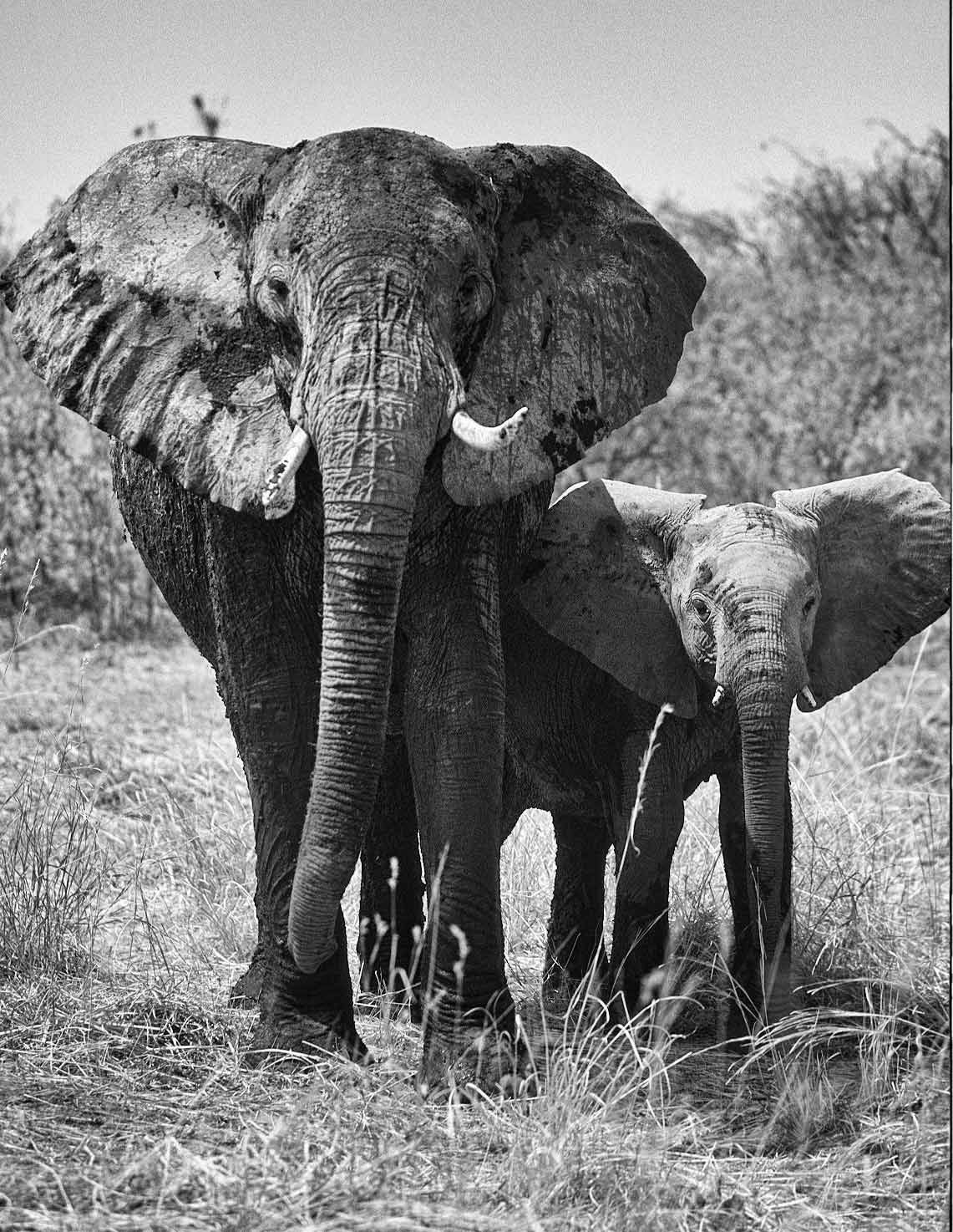 A.AFR.ELEPHANT00009bw_opt.jpg