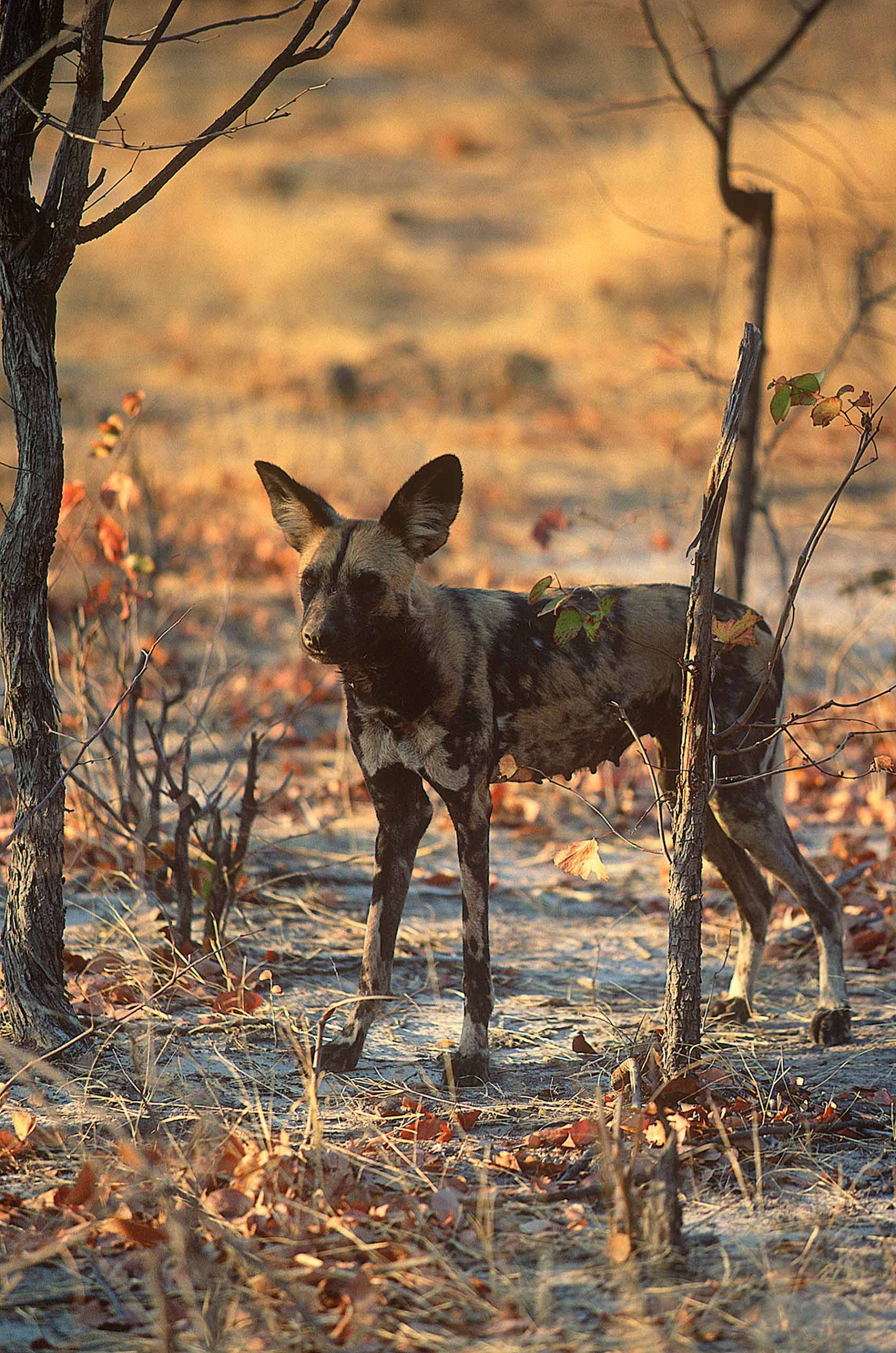 A.AFR.wilddogs0007_opt.jpg