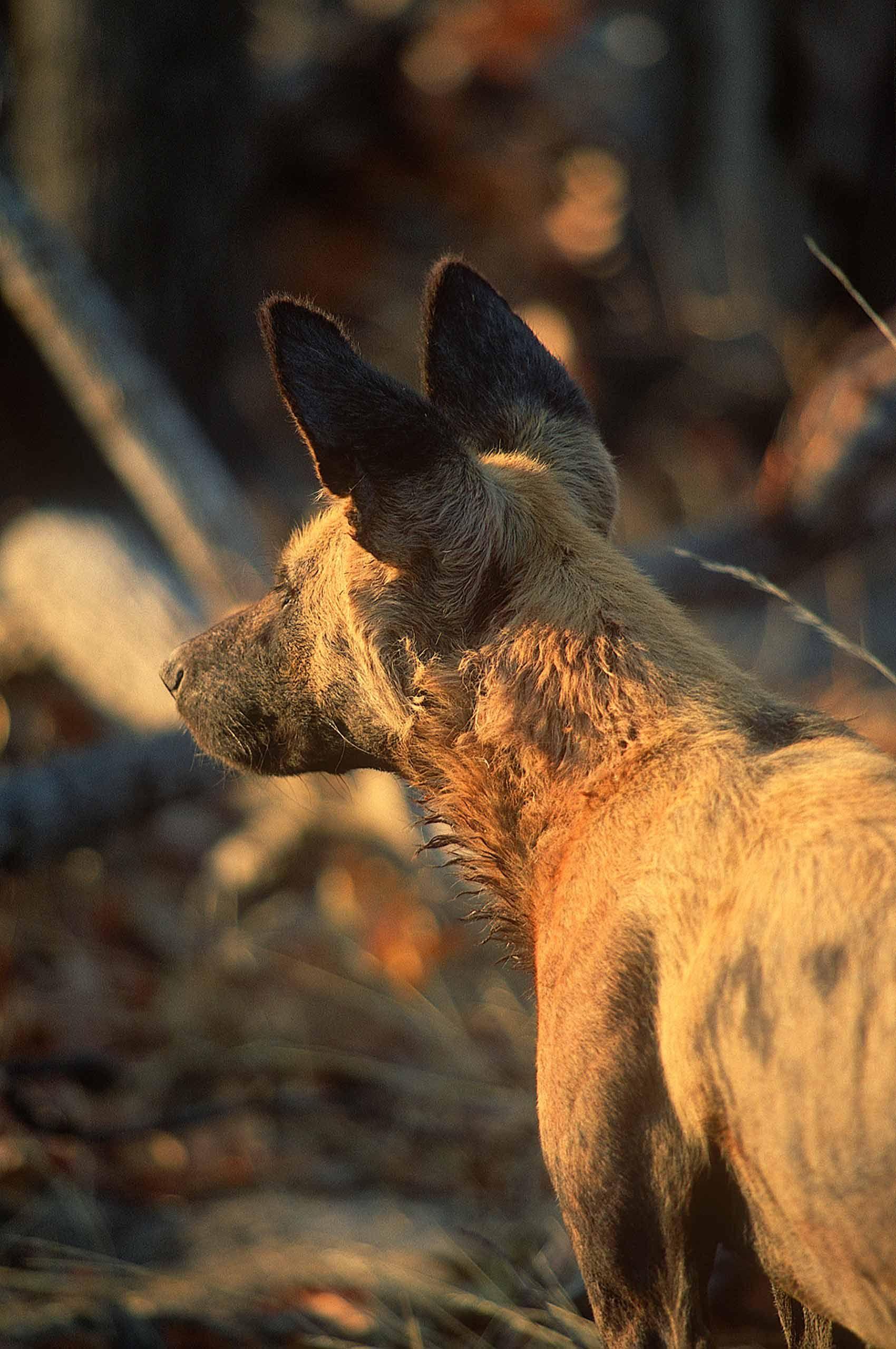 A.AFR.wilddogs0002_opt.jpg