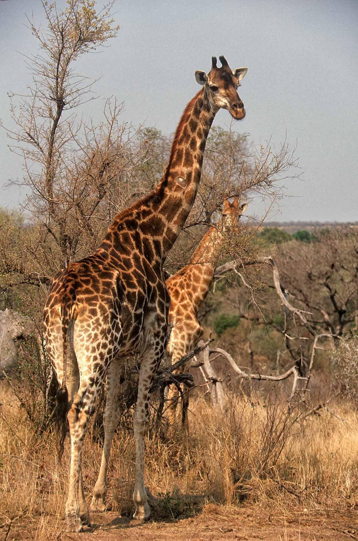 A.AFR.Giraffe0001_opt.jpg