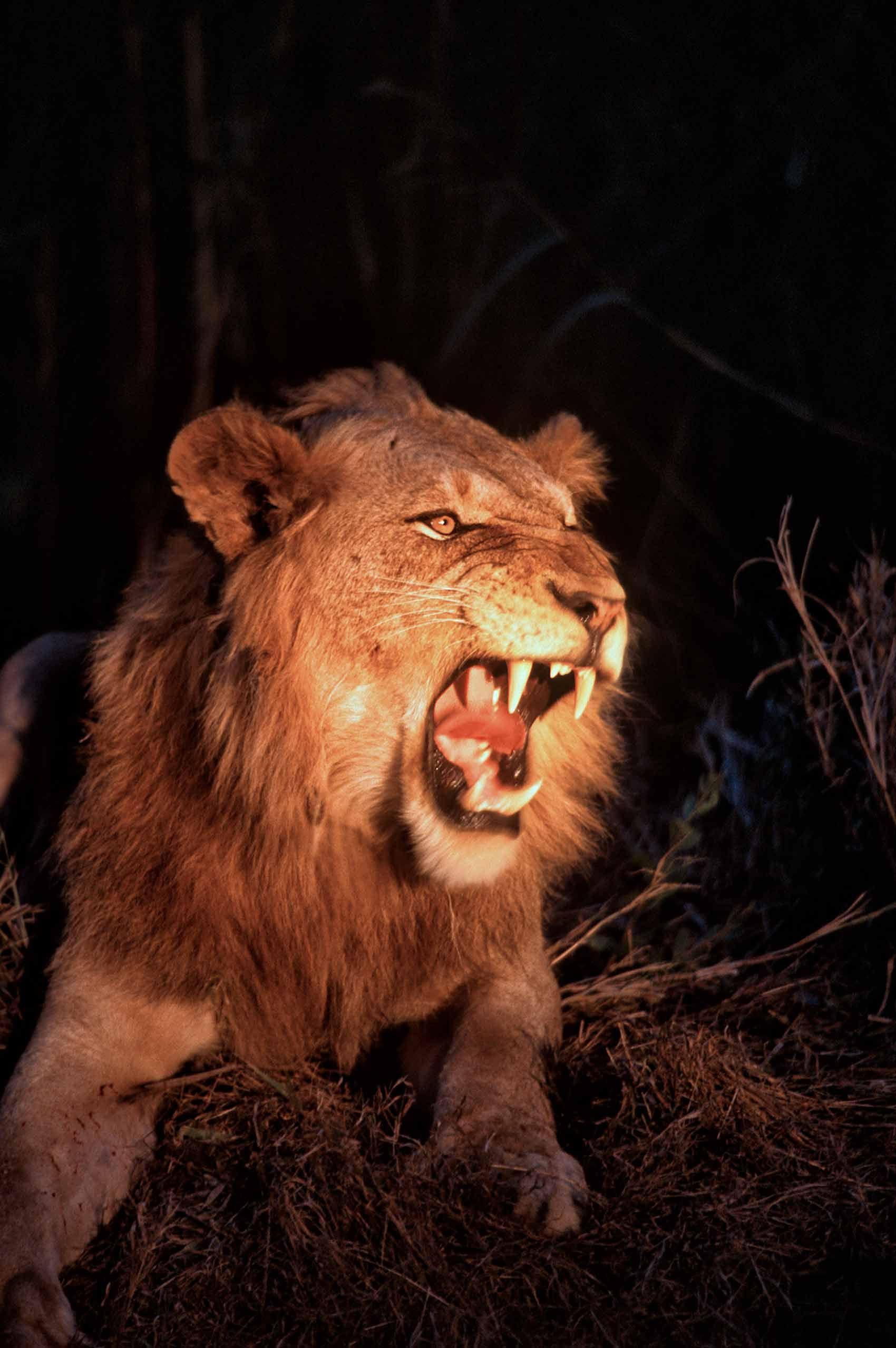 A.AFR.Lion00001_opt.jpg