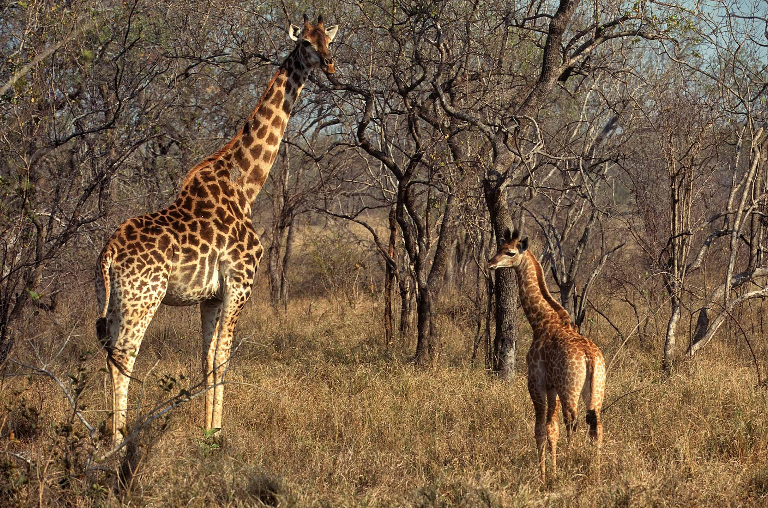 A.AFR.Giraffe0008_opt.jpg