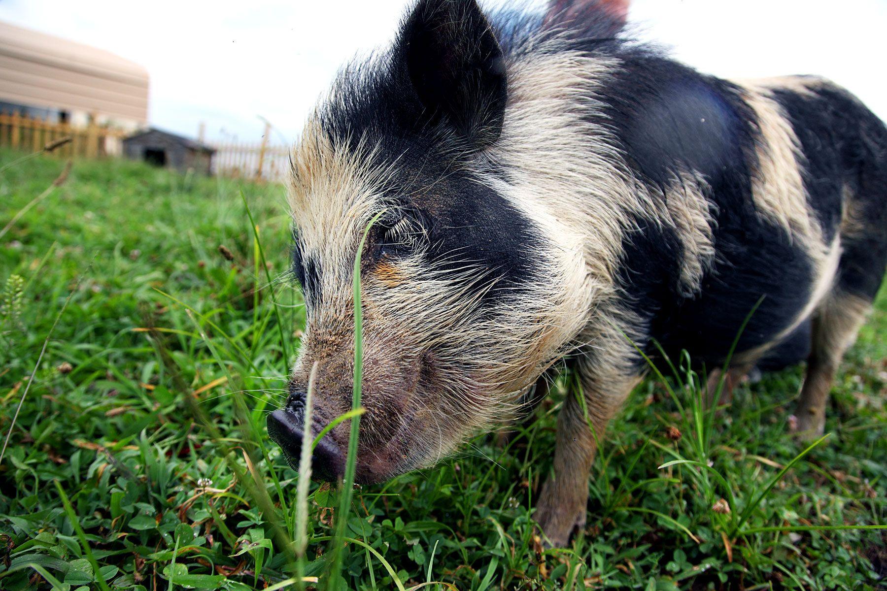 Peaceful Pig