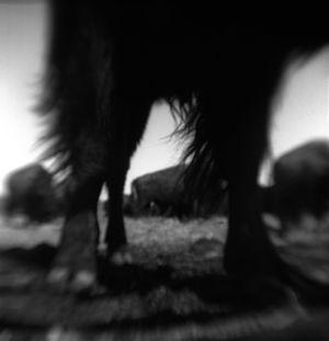 Bison Legs