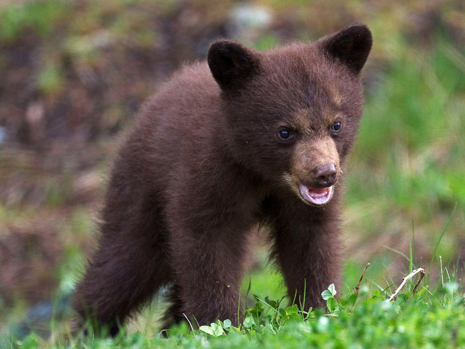 Black Bear cub Whistler BC