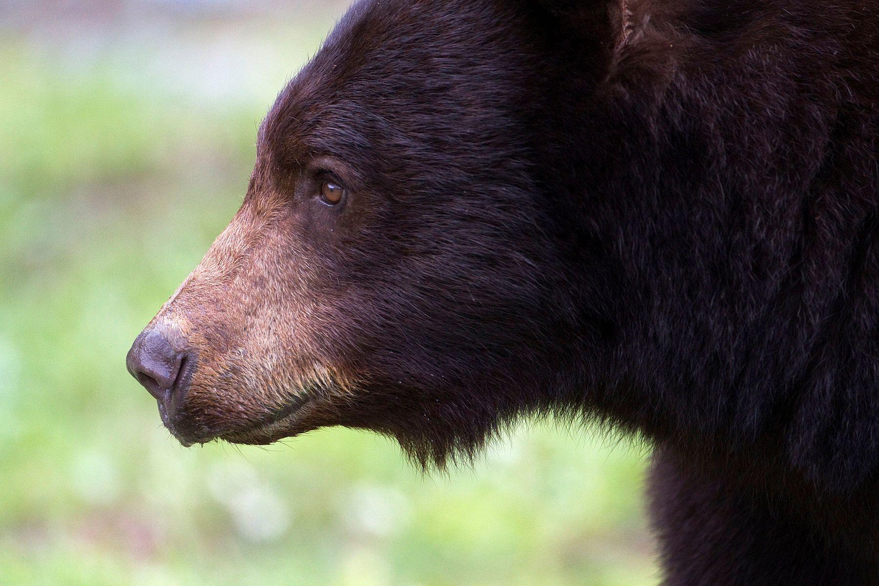 Black Bear Whistler BC