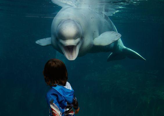 Beluga whale encounters at the Mystic Aquarium, Mystic, Connecticut