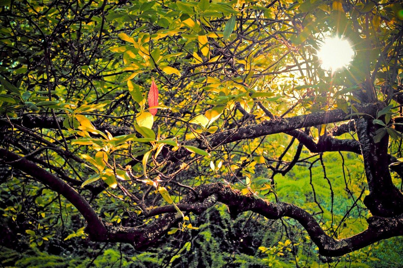 Red_leaf_tree_hdr.jpg