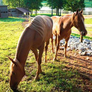 Tennessee-walker horses