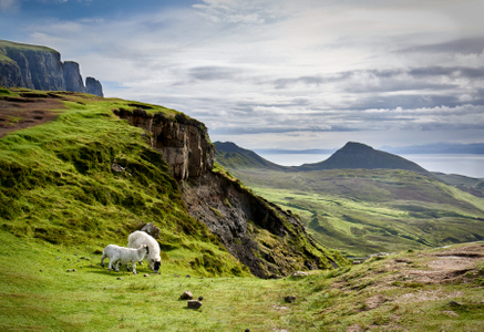 Sheep-on-the-Quiraing