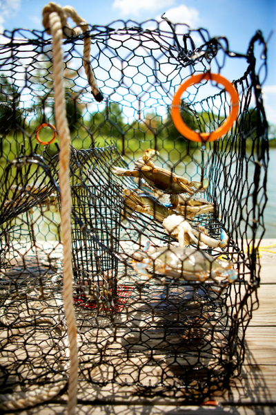 Crabs-in-trap-1.jpg