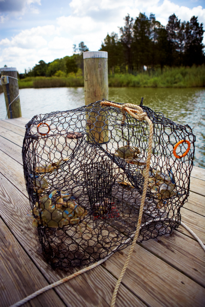 Crabs-in-trap.jpg