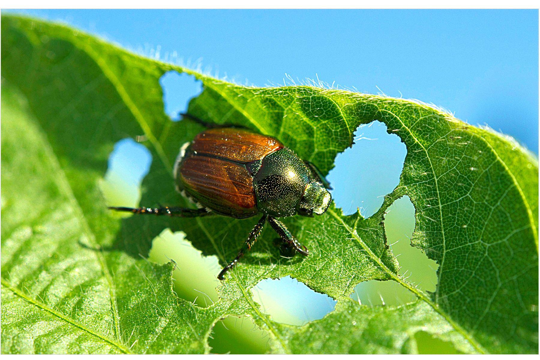 Japeneese Beetle eating Soy Beans - Bad Bug