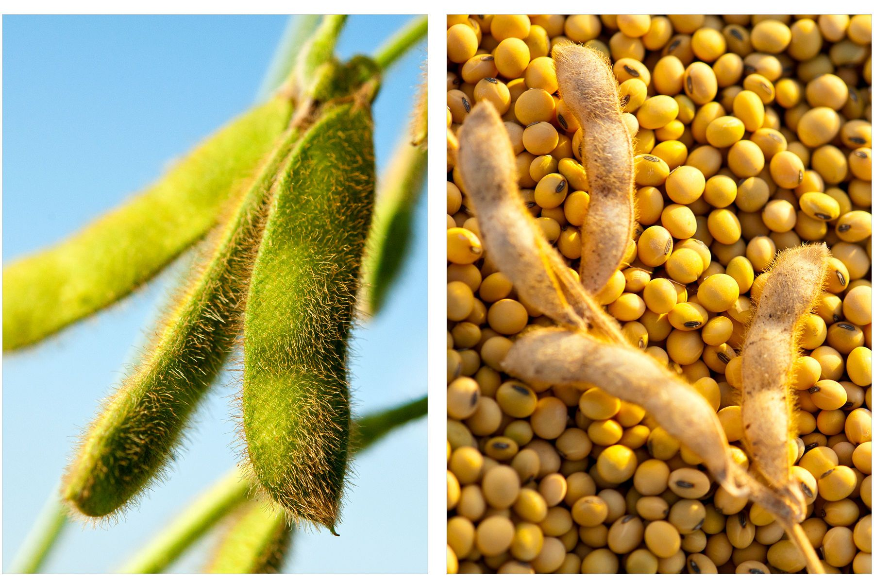 1before___after_soy_beans.jpg