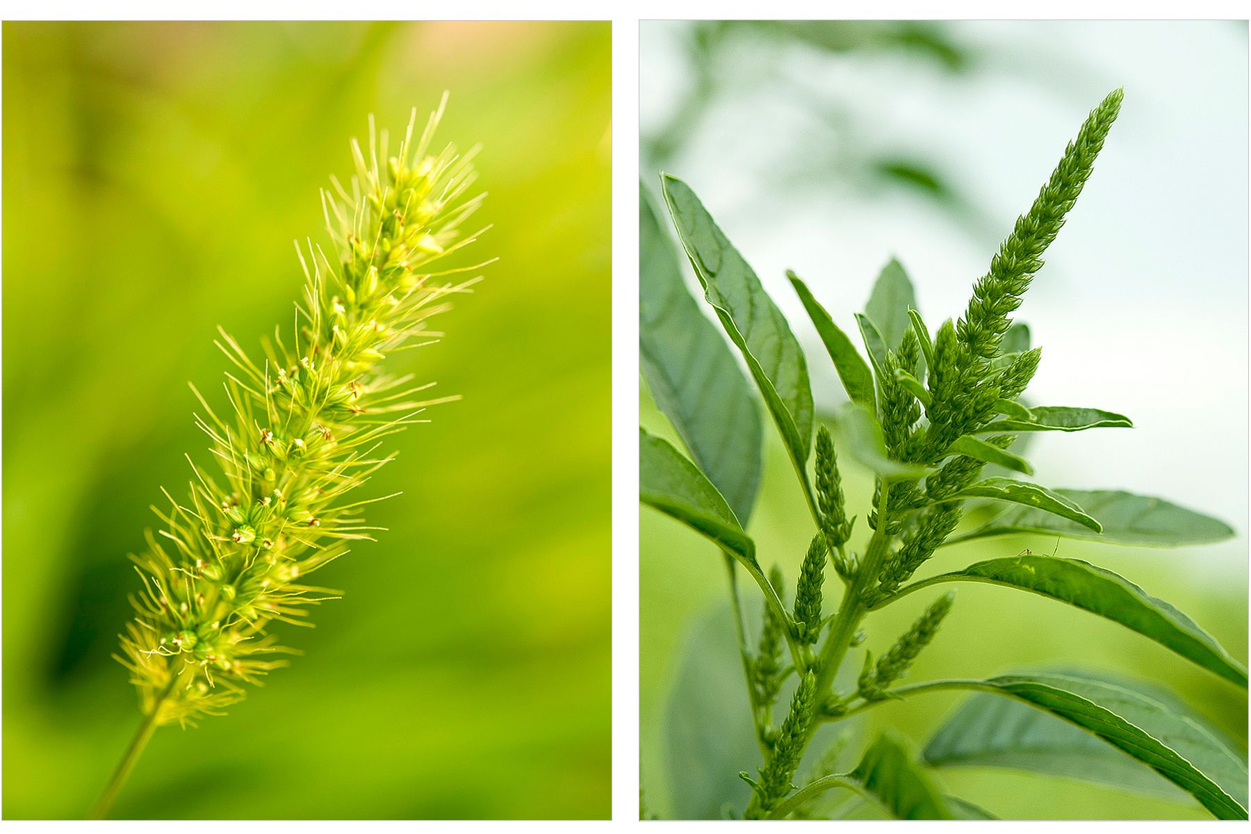 Foxtail and Marestail