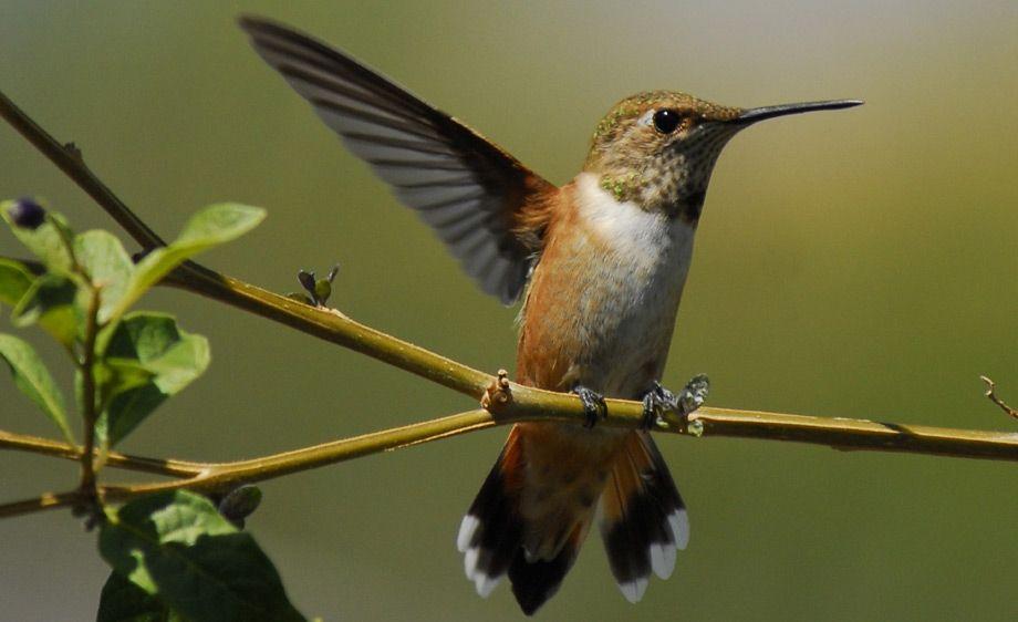 Allen's Hummingbird - Clayton California
