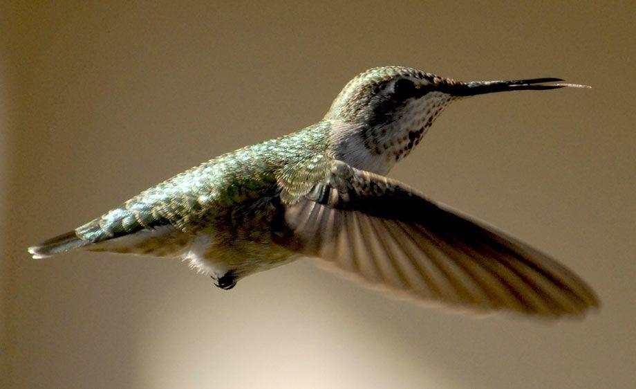 Anna's Hummingbird - Clayton California