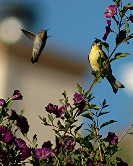 Hummingbird and Friend - Clayton California