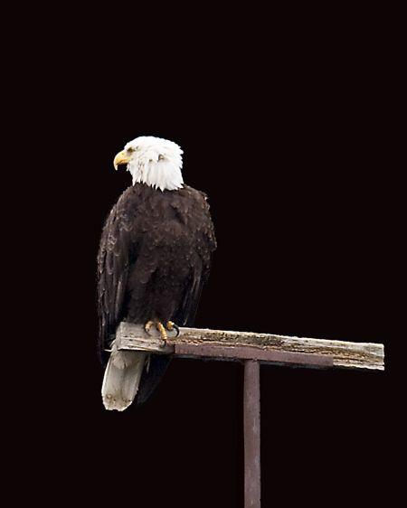 Bald Eagle in Juneau Alaska