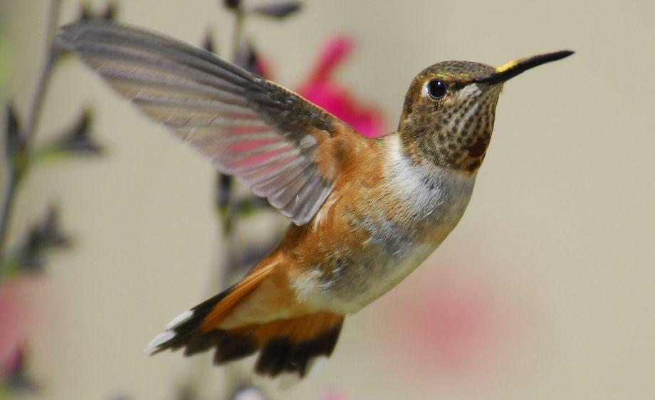 Allens Hummingbird - Clayton California