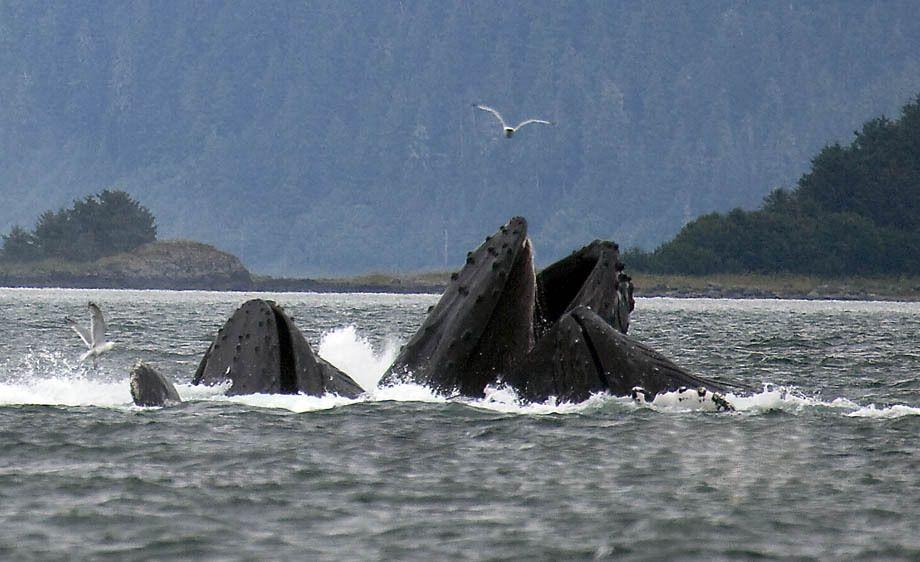 Juneau Alaska Humpback Whales