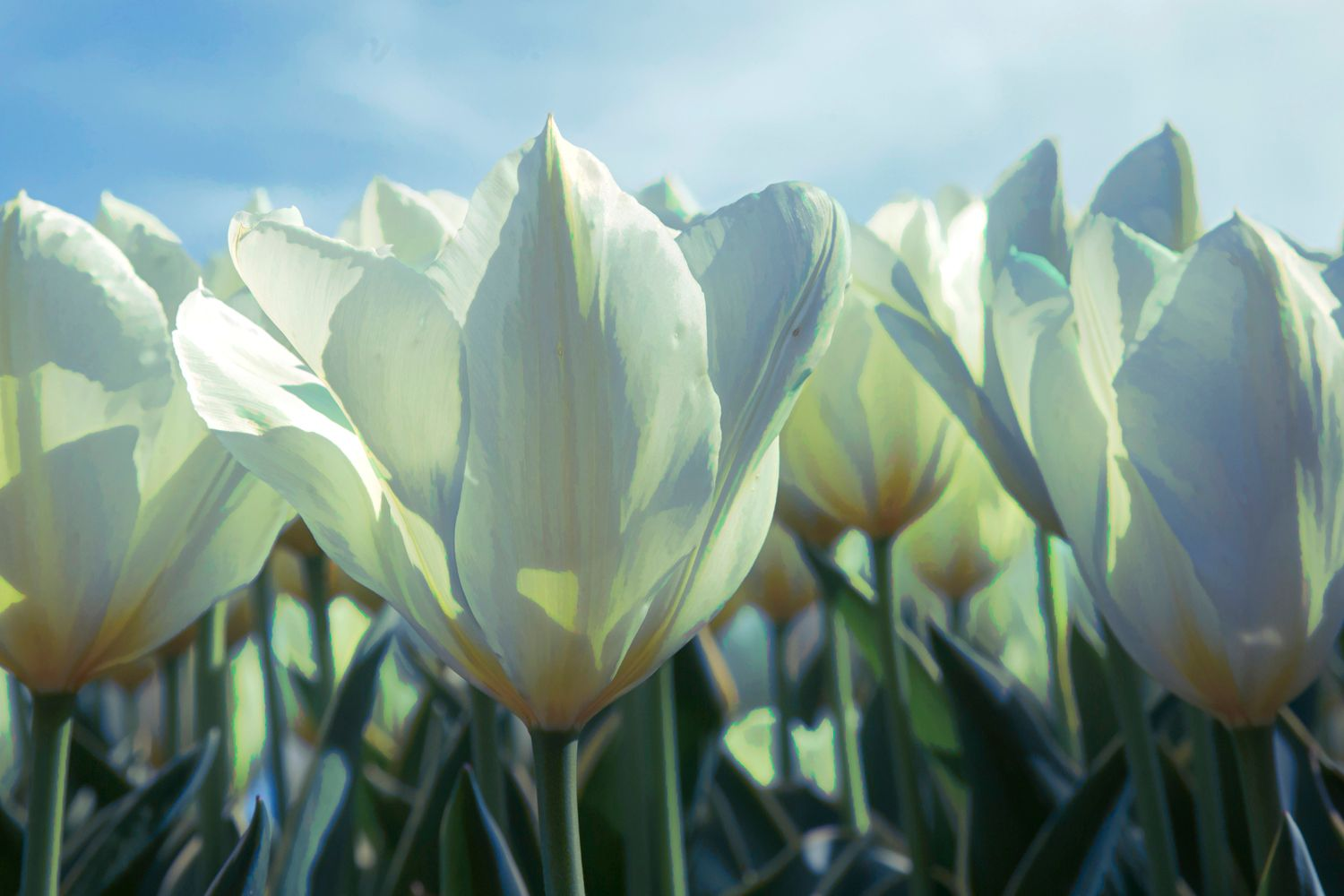 White Tulips-web.jpg