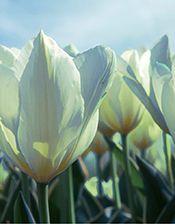 White Tulips-landing.jpg