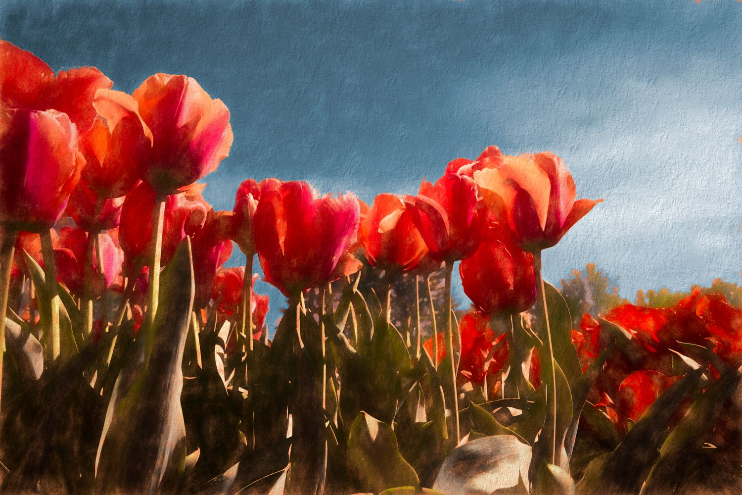 Red Tulips5 tz-rich blue-web.jpg