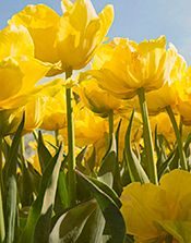 Yellow Tulips Below-web.jpg