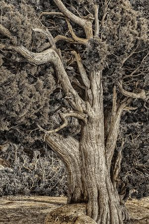 Yosemite Tree #5