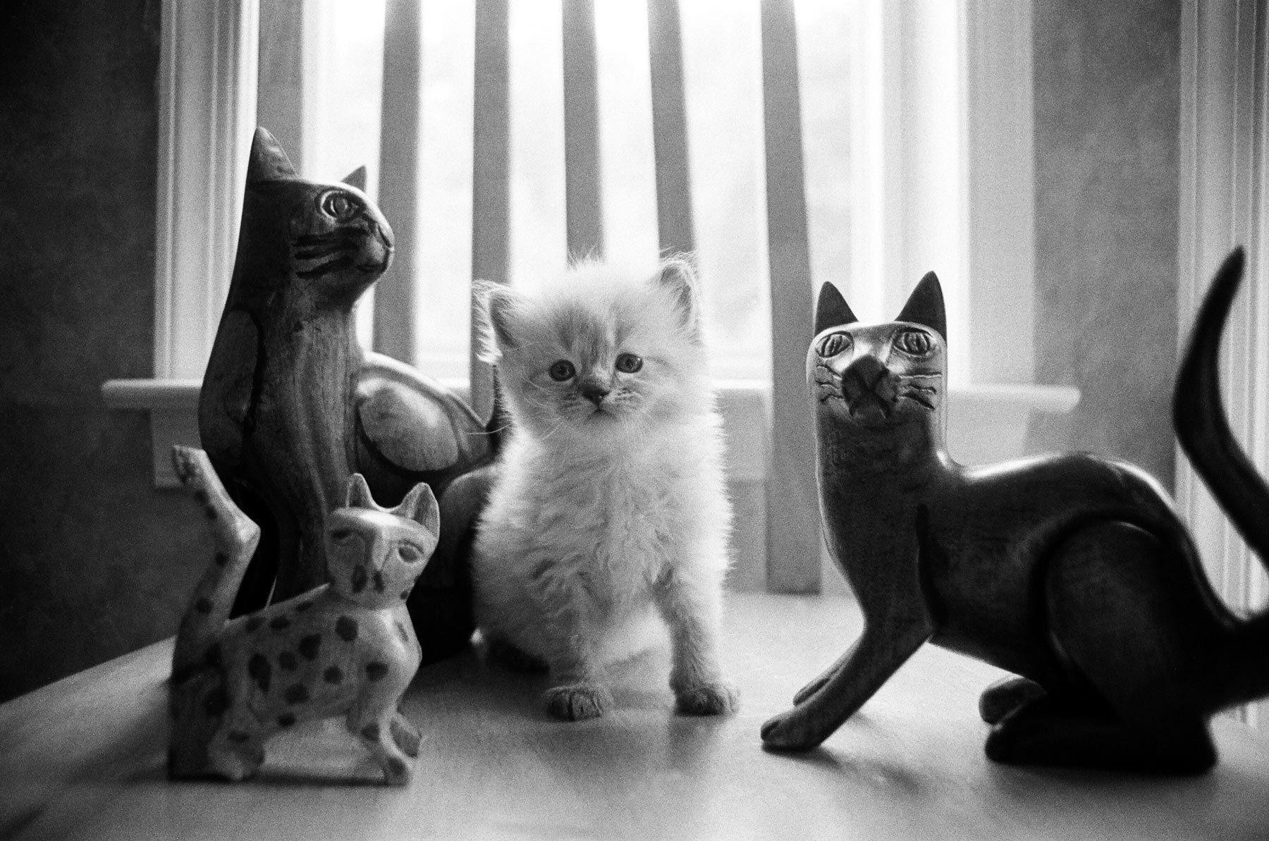 11-ragdoll_kitten