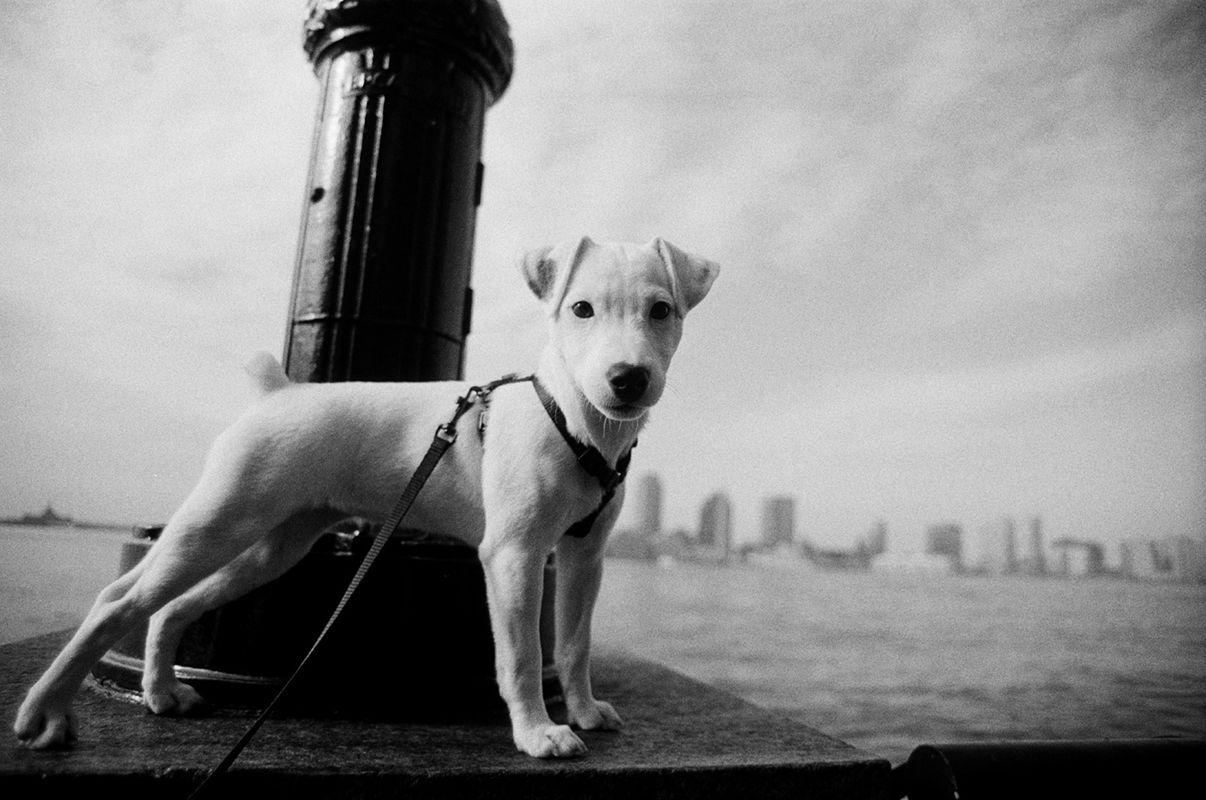 1jackrussell_city