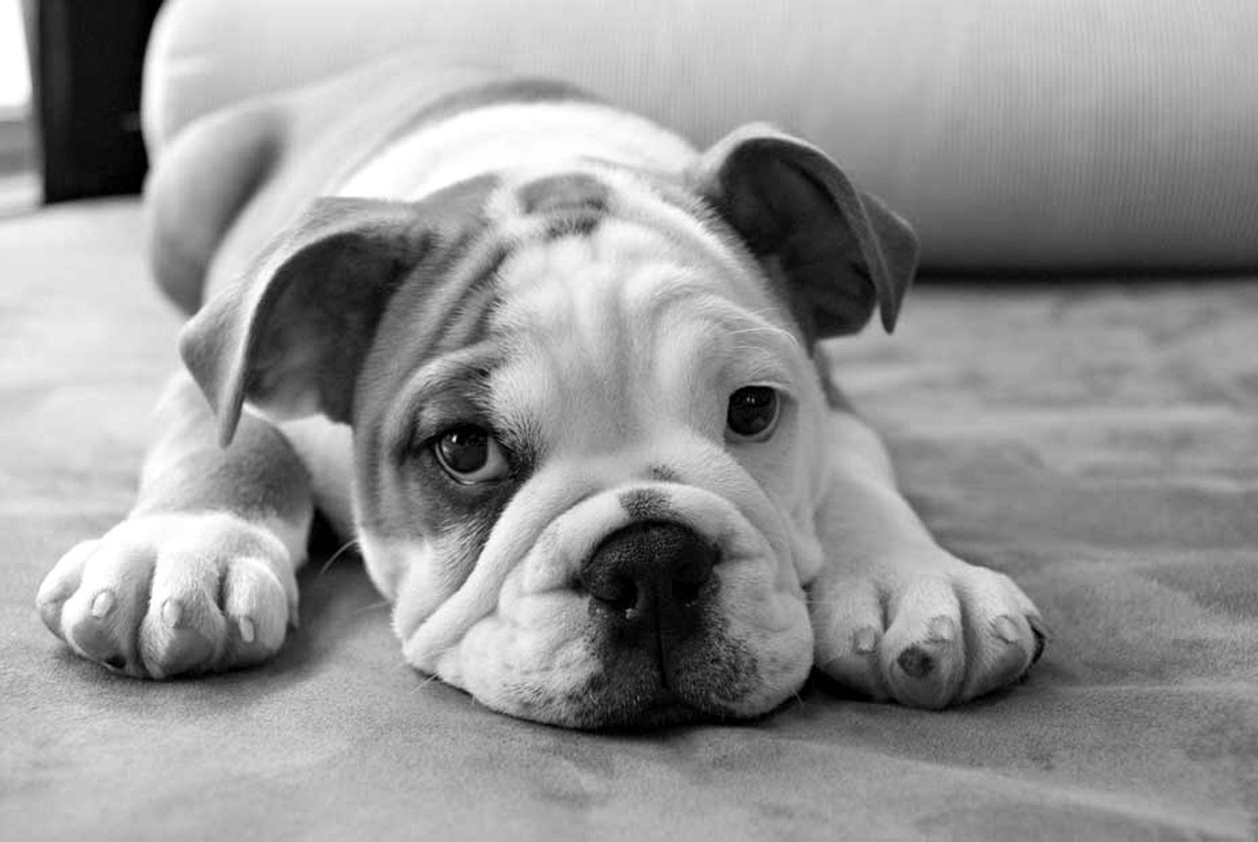 1bulldogpuppy16_bwlow