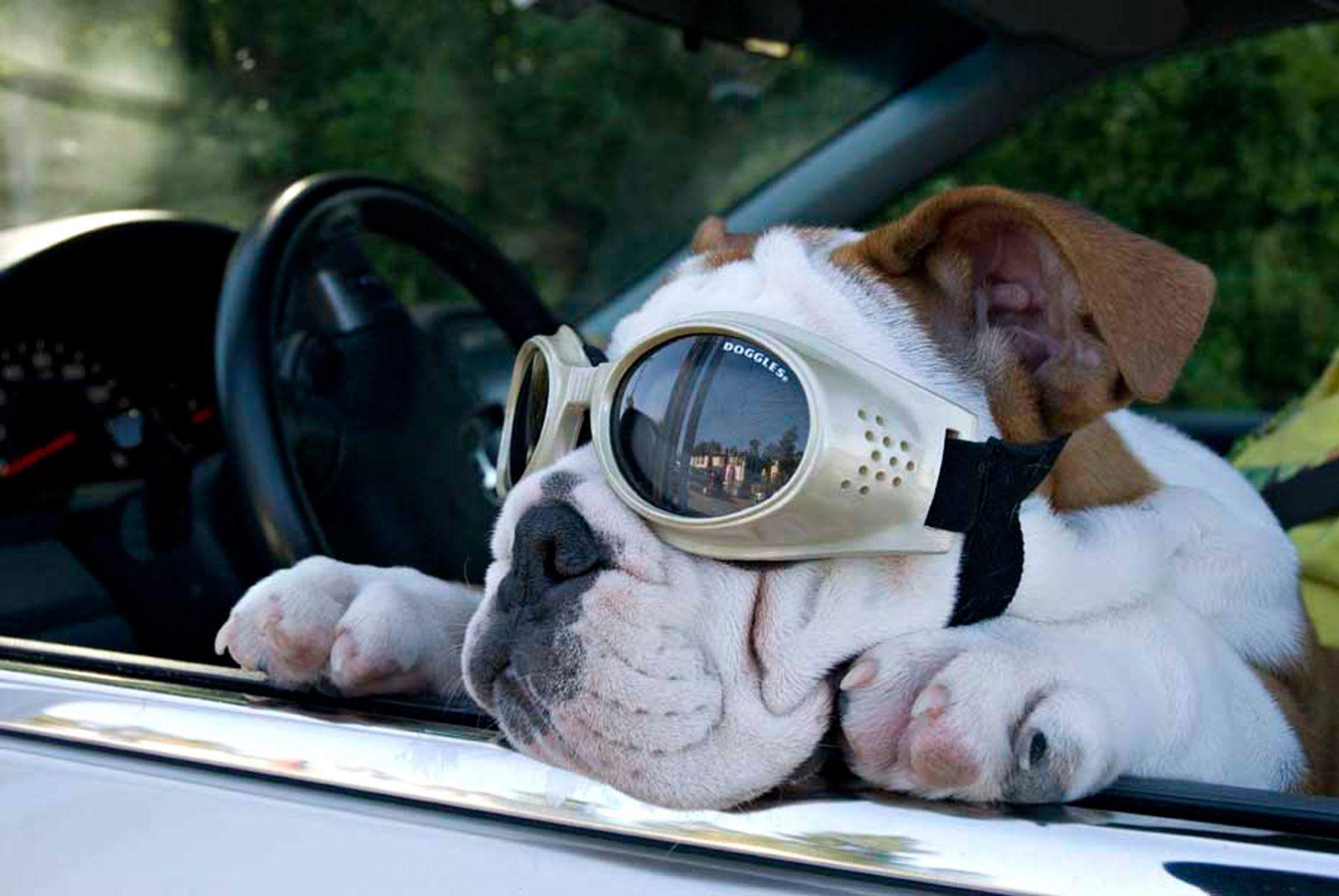 1bulldogpuppy_car158_colorlow