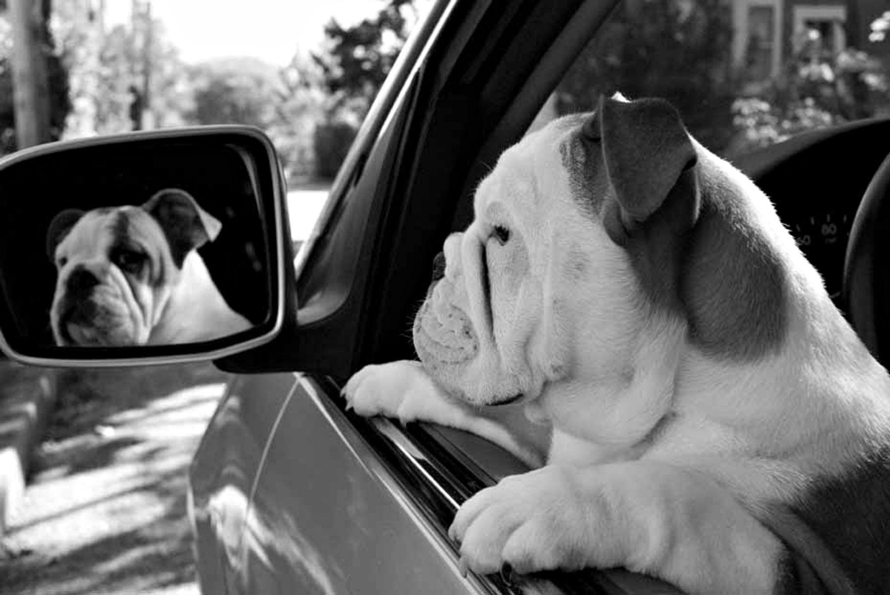 1bulldogpuppy_mirror174_bwlow