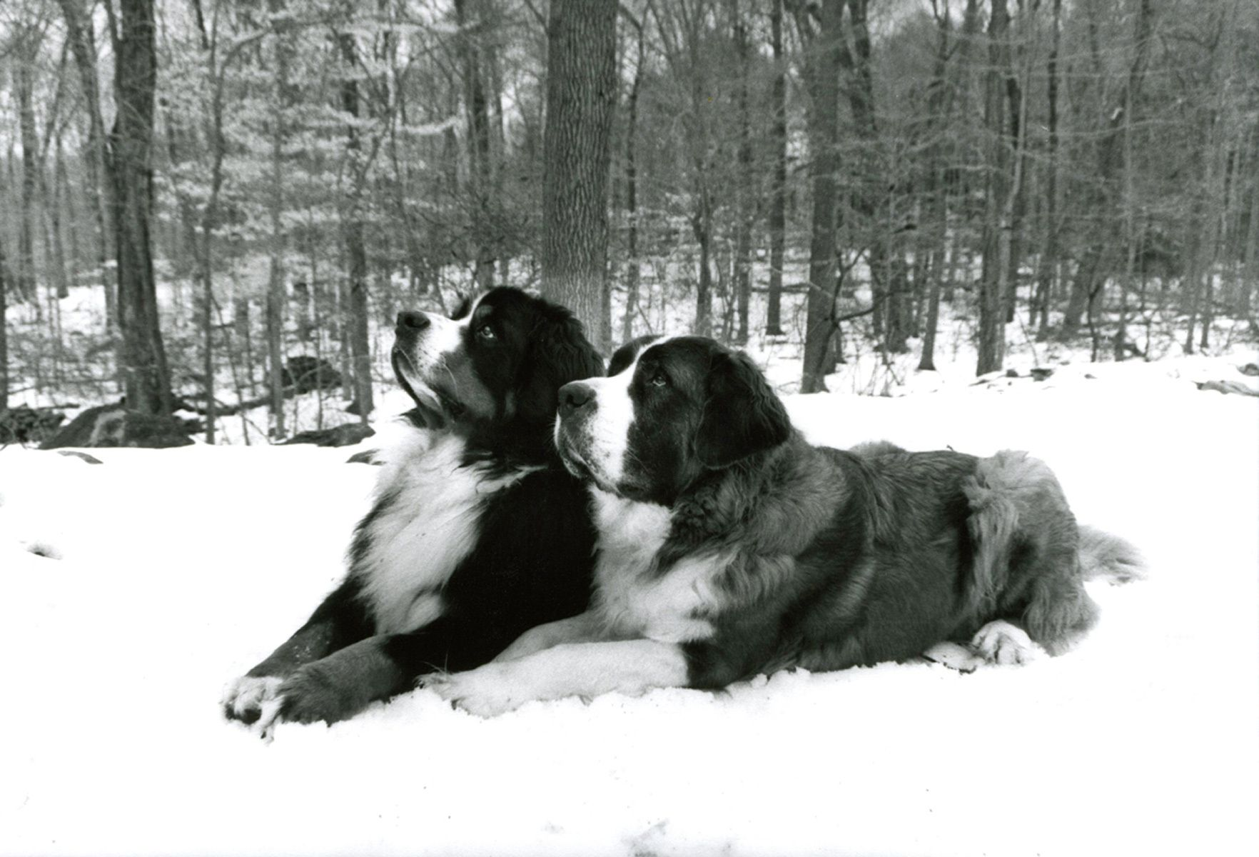 1bernesemountaindog_stbernard_snow