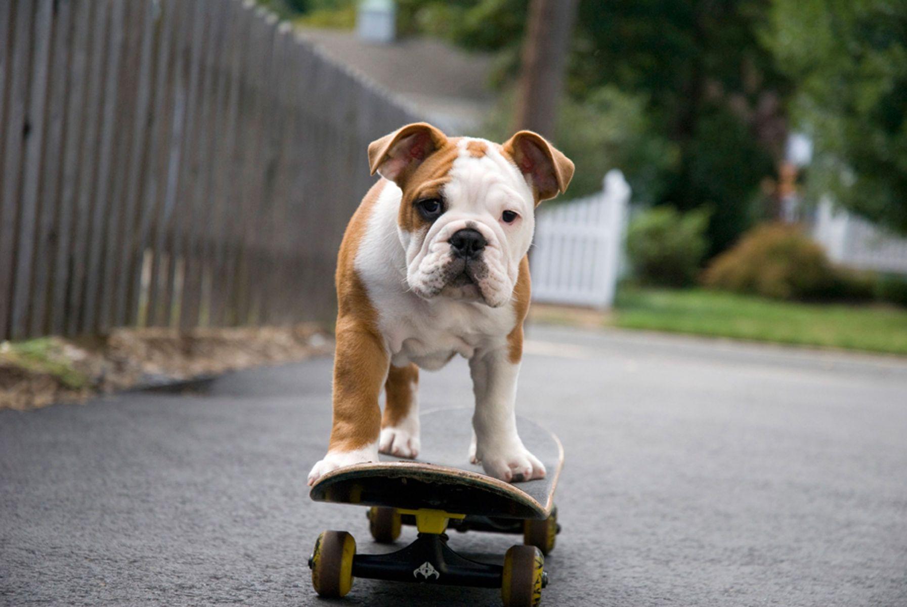 1bulldogpuppy94_colorlow