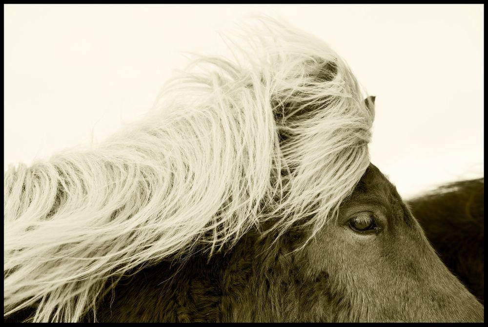Iceland Horse #2