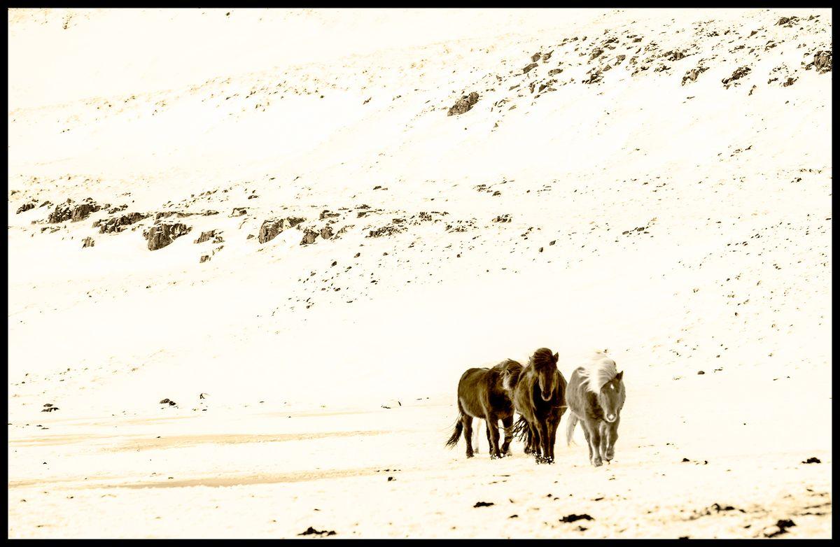 Iceland Horses #3