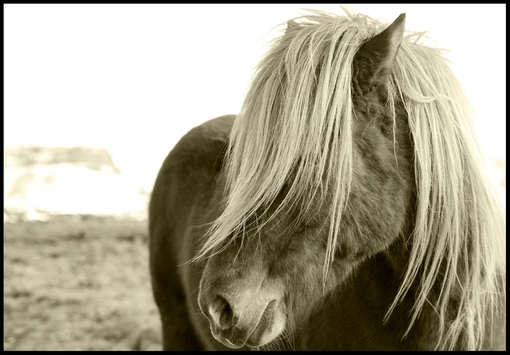 Iceland Horse #1