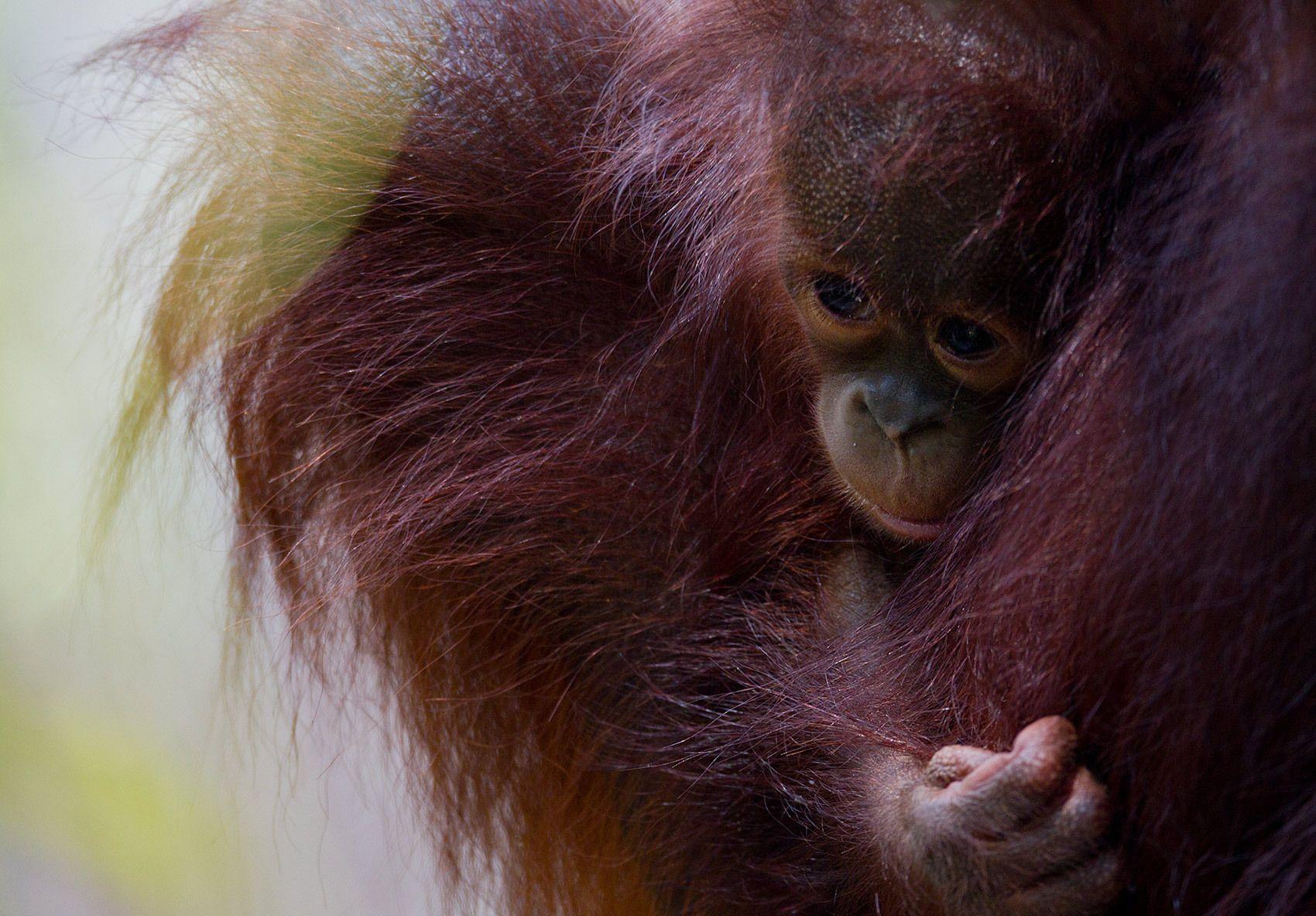 1baby_orangutan