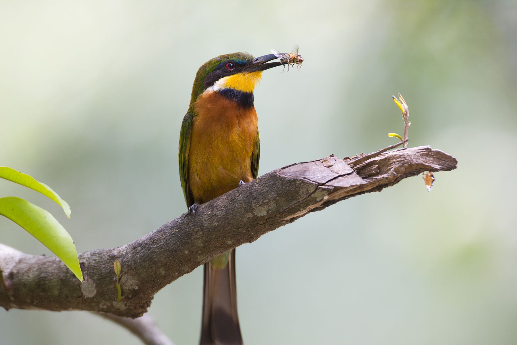 1bee_eater