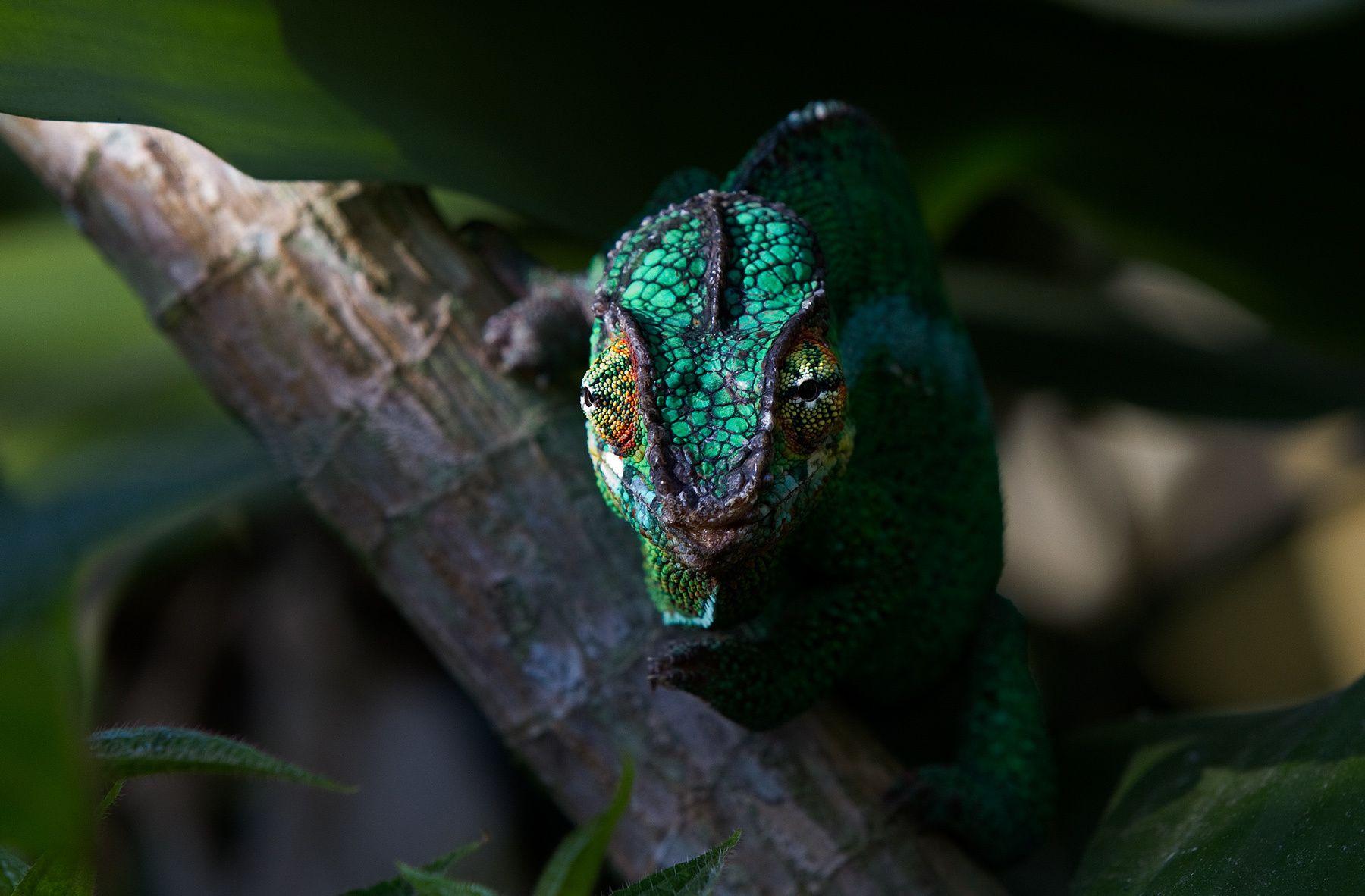 1chameleon_green
