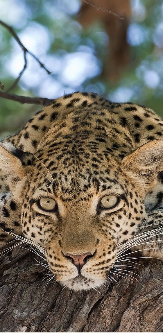 The look of the leopard