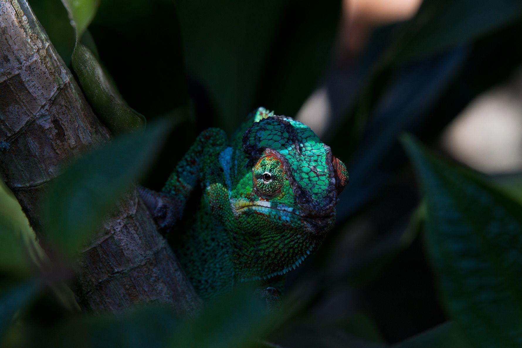 1chameleon_green2