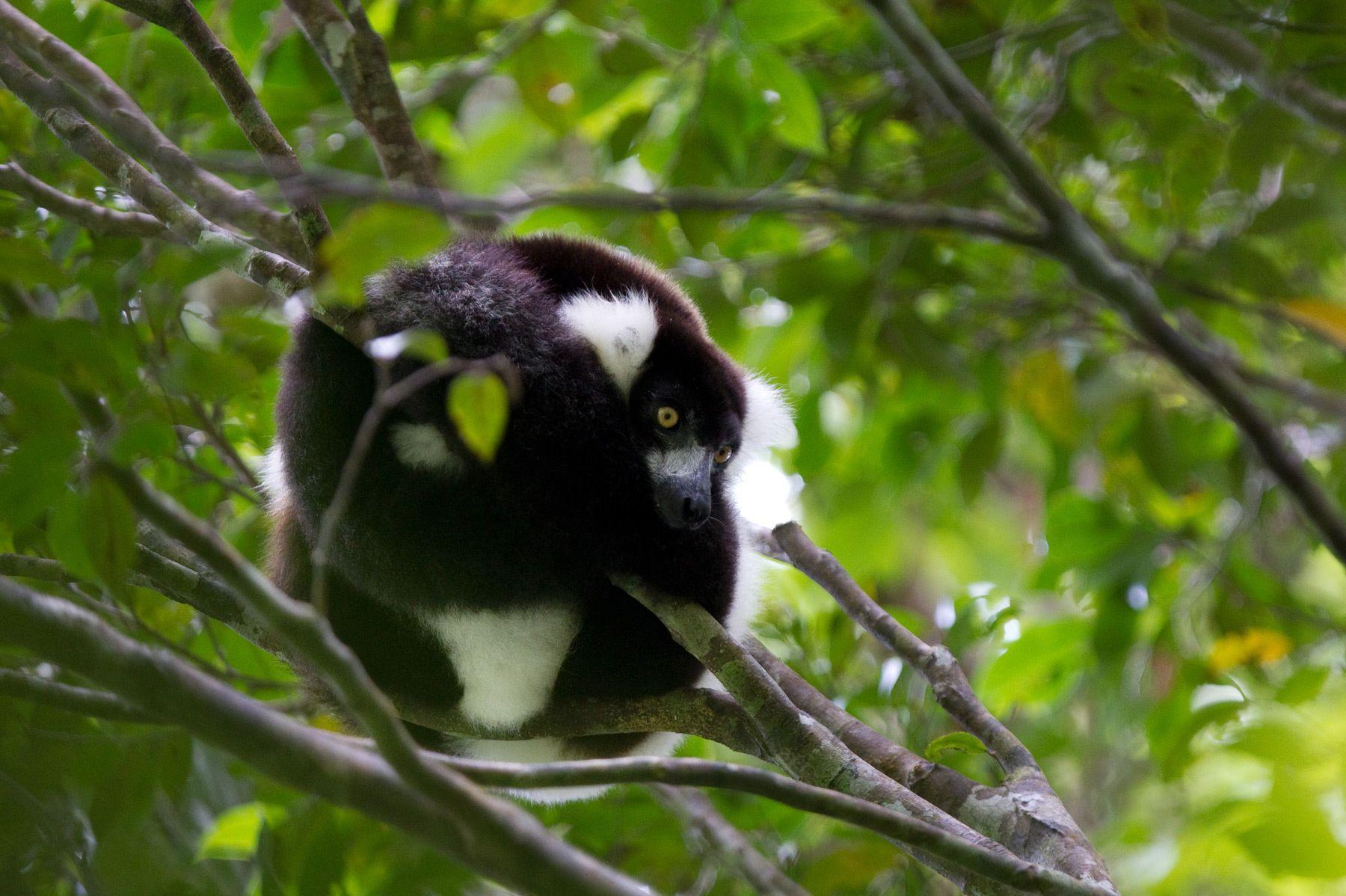 1bw_lemur2