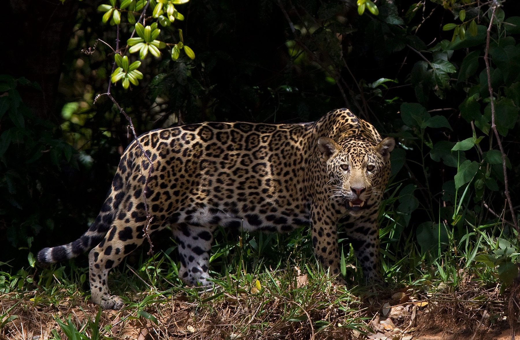 1jaguar_stalking