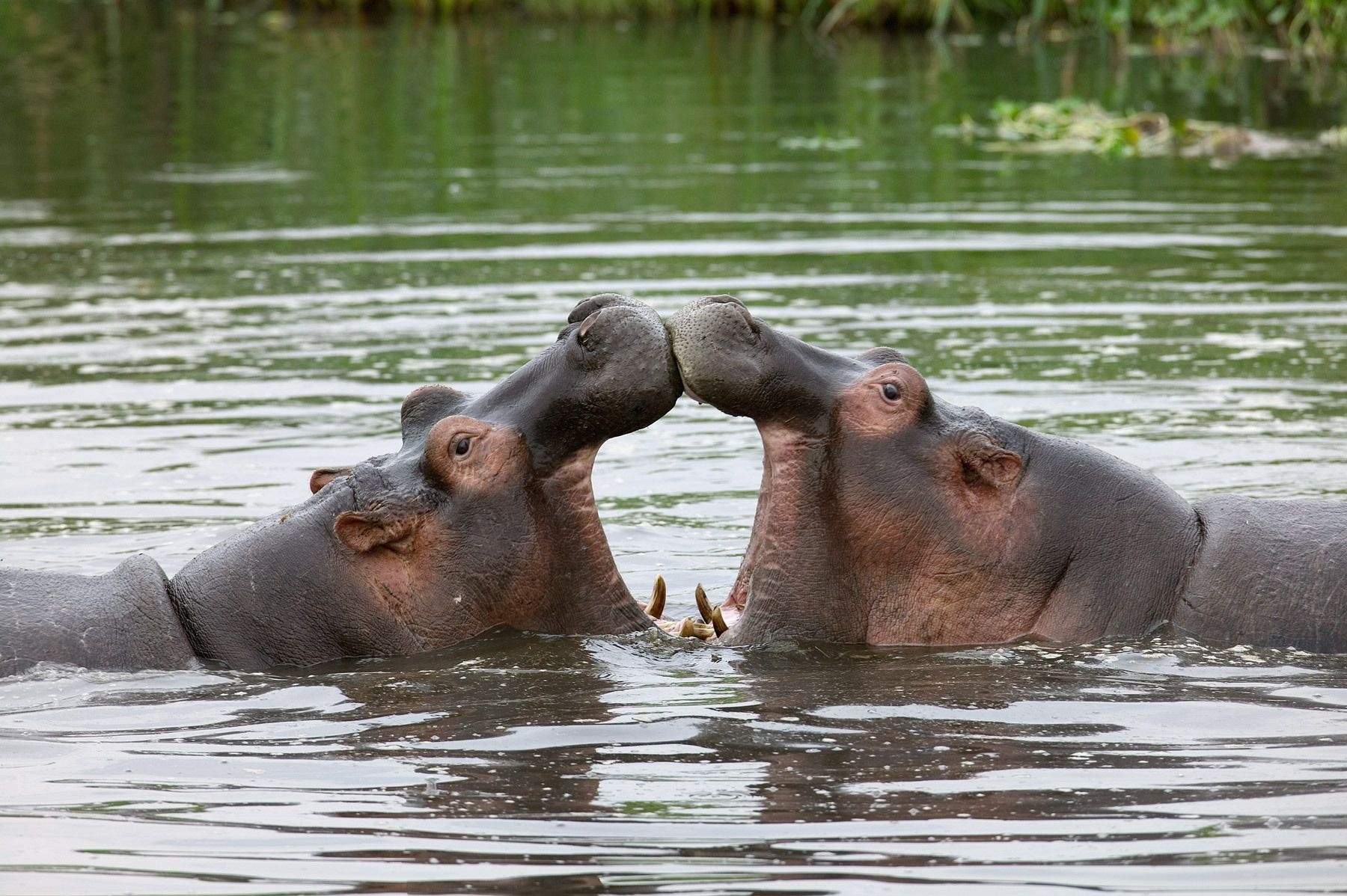 Sparring Hippos