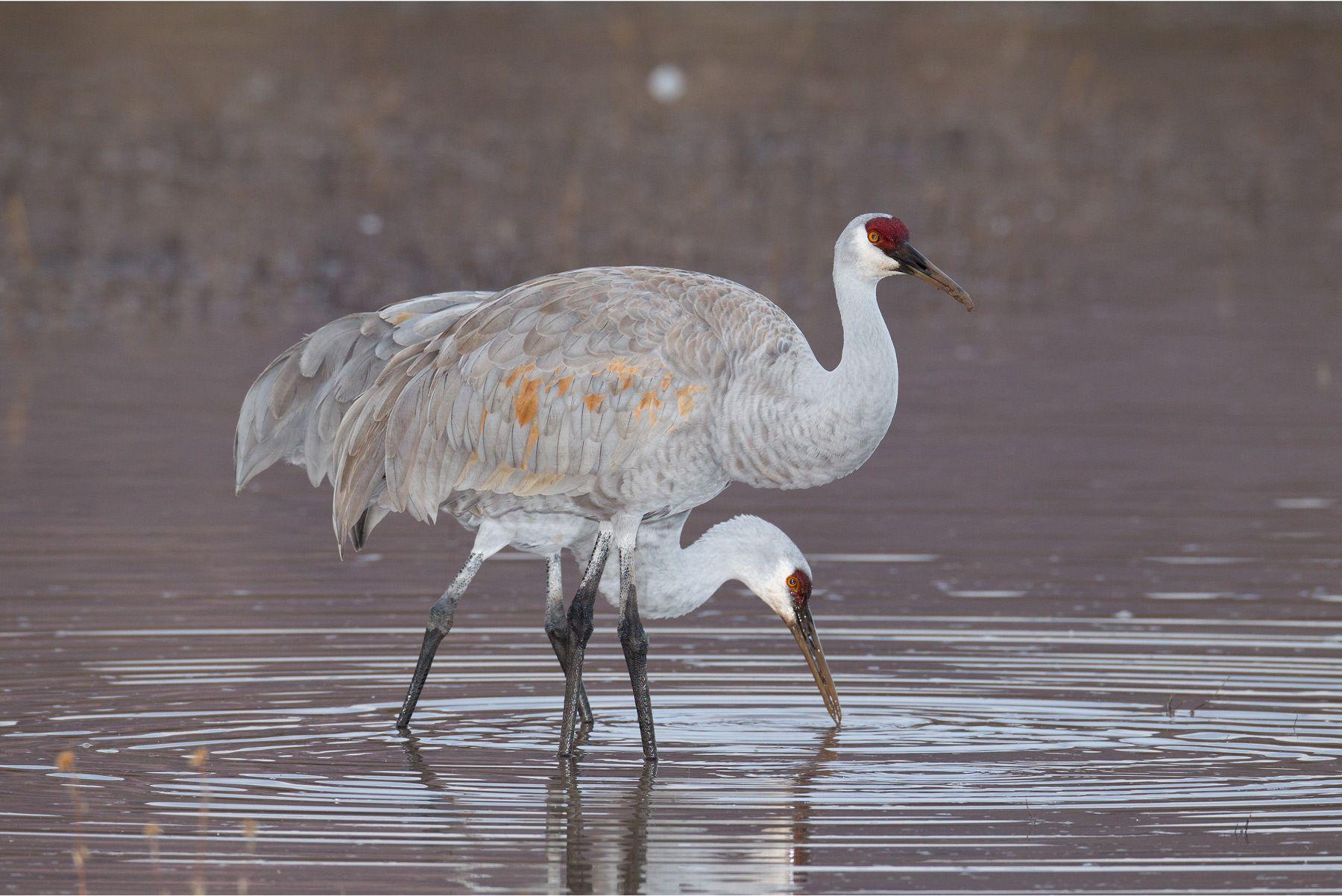 1sandhill_cranes_feeding